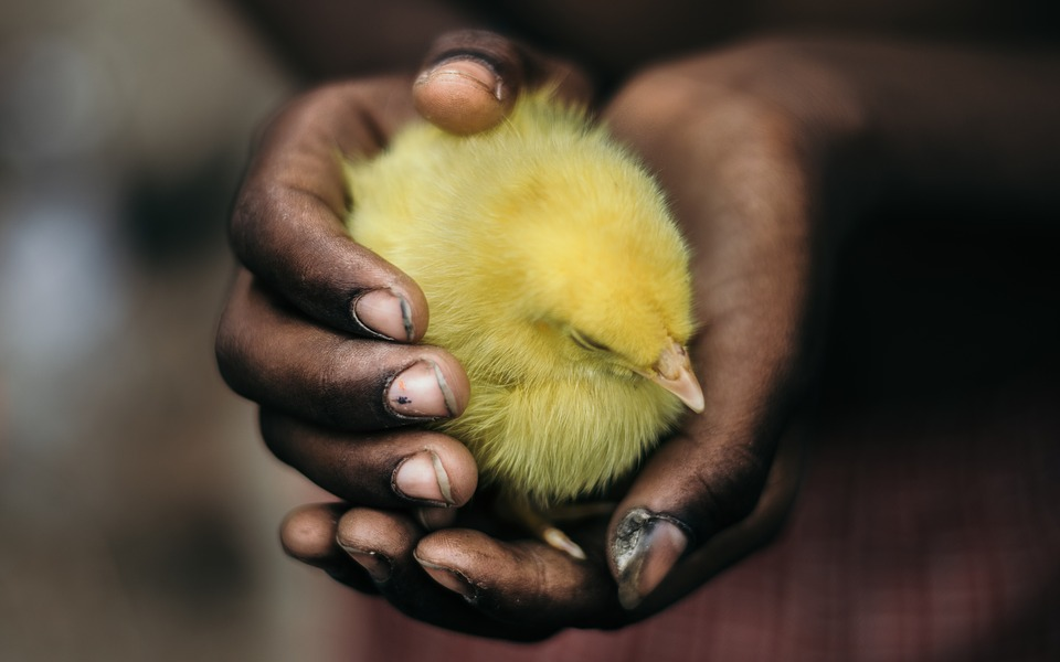 la vie beau mot taxifun poussin jaune mains tendresse beauté fragilité